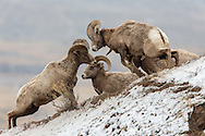 Bighorn Sheep in Habitat
