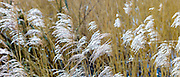 Grasses blowing in the wind on the marshes in The Somerset Levels Nature Reserve in Southern England, UK