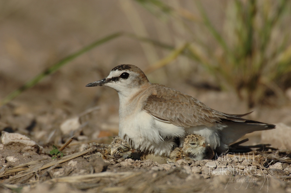High Plains, Nebraska. Kimball county along the NE/CO border just north of Pawnee National Grassland...Mountain plover (federal endangered species list- IUCN Red List) on nest with eggs in fallow wheat field...(HATCHING SEQUENCE NEXT SEVERAL FRAMES)..Since Mountain plovers prefer open or close to bare ground grasslands to nest, Rocky Mountain Bird Observatory (RMBO) pays farmers good money to locate nests in their fields before plowing. The nests are flagged and farmers plow around them.