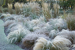 The grasses border in frost. Grasses include Stipa tenuissima, Stipa arundinacea, Carex testacea, Calamagrostis x acutiflora 'Karl Foerster' and Pennisetum alopecuroides 'Hameln'. Design: John Massey, Ashwood Nurseries