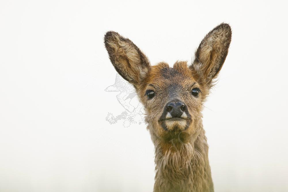 Western Roe Deer (Capreolus capreolus) female close up of head South Norfolk, UK. May.