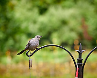 Gray Catbird. Image taken with a Nikon D850 camera and 200 mm f/2 VR