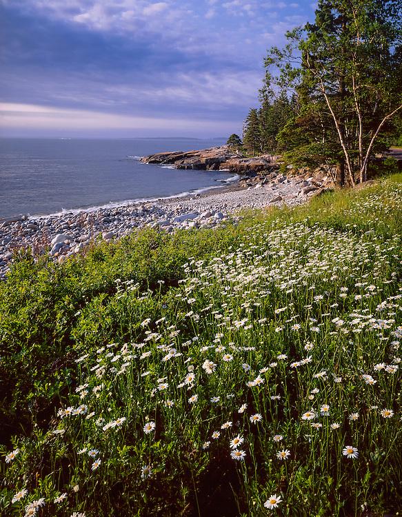 Daisies & rocky shore, Schoodic Peninsula, Acadia National Park, ME