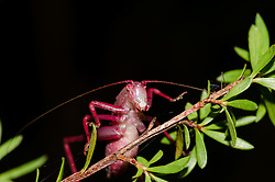 Red Bush Cricket, Katydid, Caedicia simplex