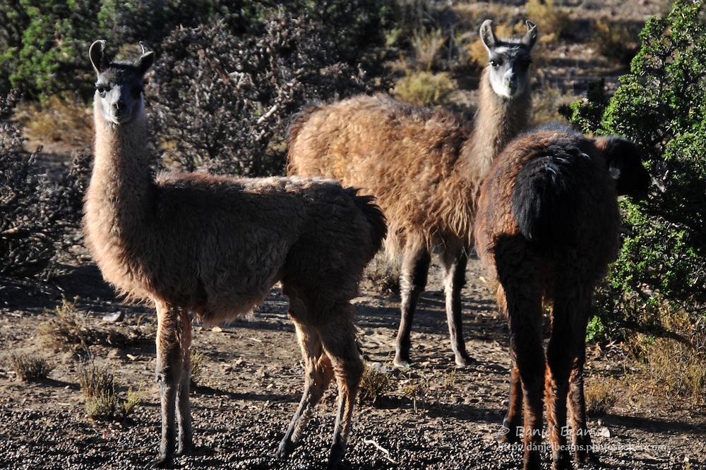 Llamas on altiplano in Potosi, Bolivia