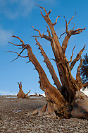 The setting sun gives a bristlecone pine an orange tint, Ancient Bristlecone Pine Forest