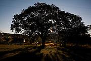 Inhauma_MG, Brasil...Arvore de sitio em Inhauma...A tree of the house in Inhauma...Foto: LEO DRUMOND / NITRO
