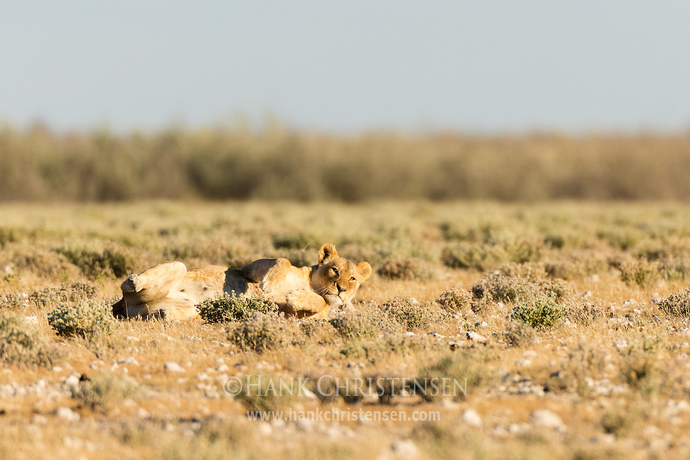 A lion lolls in the short grass in early morning light, Etosha National Park, Namibia.