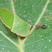 Ledrinae sp. (Cicadellidae)
