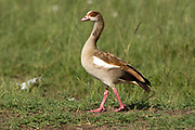 Egyptian Goose (Alopochen aegyptiaca). The Egyptian Goose is a member of the duck, goose, and swan family Anatidae. It is native to Africa south of the Sahara and the Nile Valley. Photographed in Israel in April