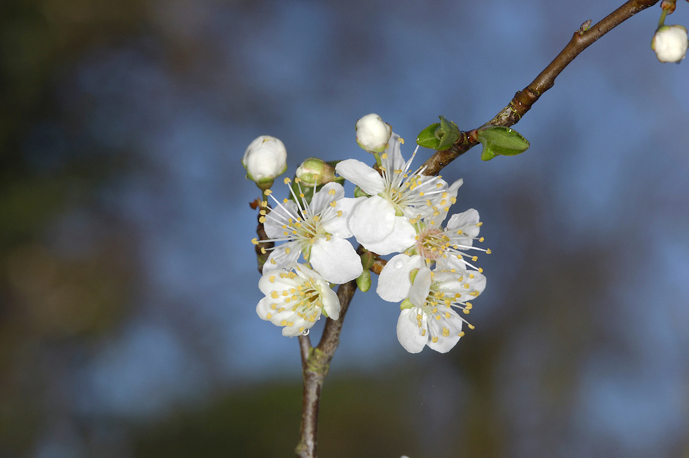 Cherry Plum Prunus cerasifera Rosaceae Height to 8m <br /> Deciduous, bushy tree. Bark Dark brown, pitted with white lenticels. Branches Spiny, with glossy-green twigs. Leaves To 7cm long, ovate, toothed; green, but red in some cultivars. Reproductive parts Flowers white, stalked; pink in some cultivars. Fruits, to 3.5cm long, rounded, red or yellow. Status Introduced, widely planted and often naturalised.