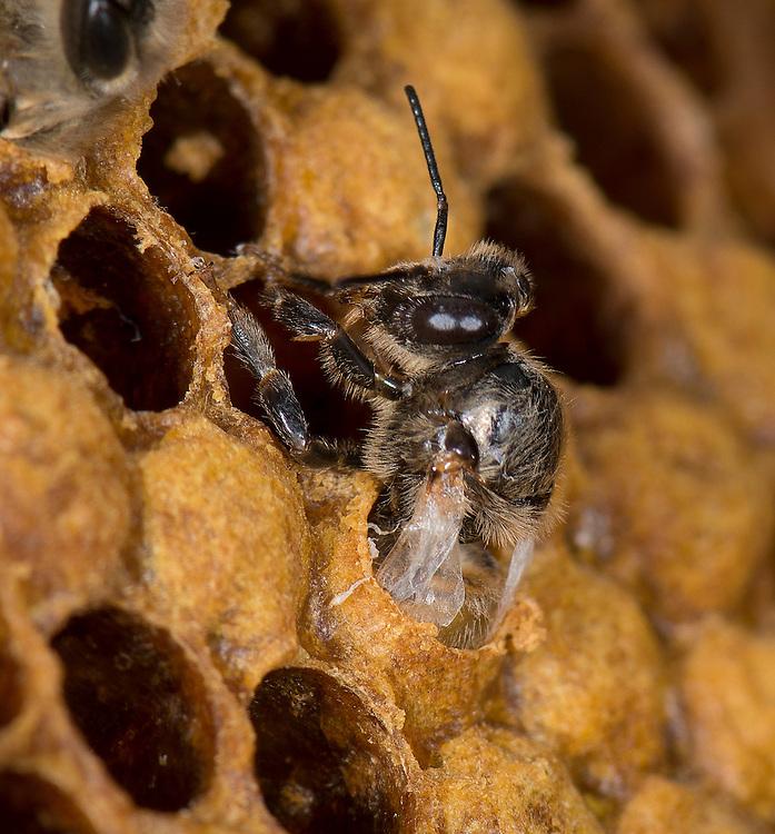 European honey bee (Apis mellifera), hatching, emergin,  Captive,  credit: Palo Alto JMZ/M.D. Kern