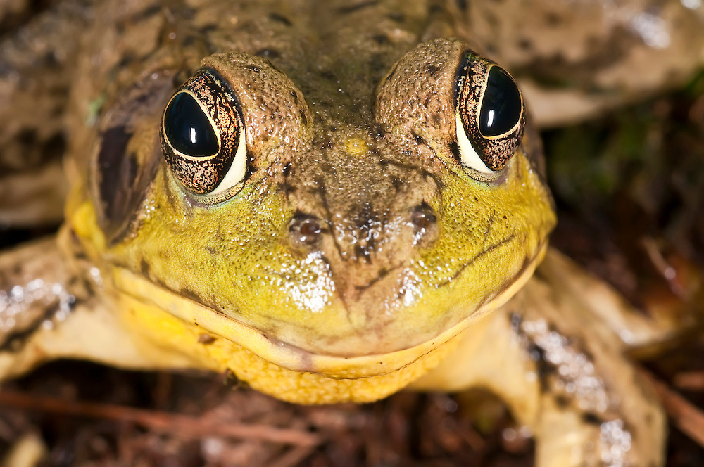 Green frog, Rana clamitans, native to the eastern half of the United States and Canada
