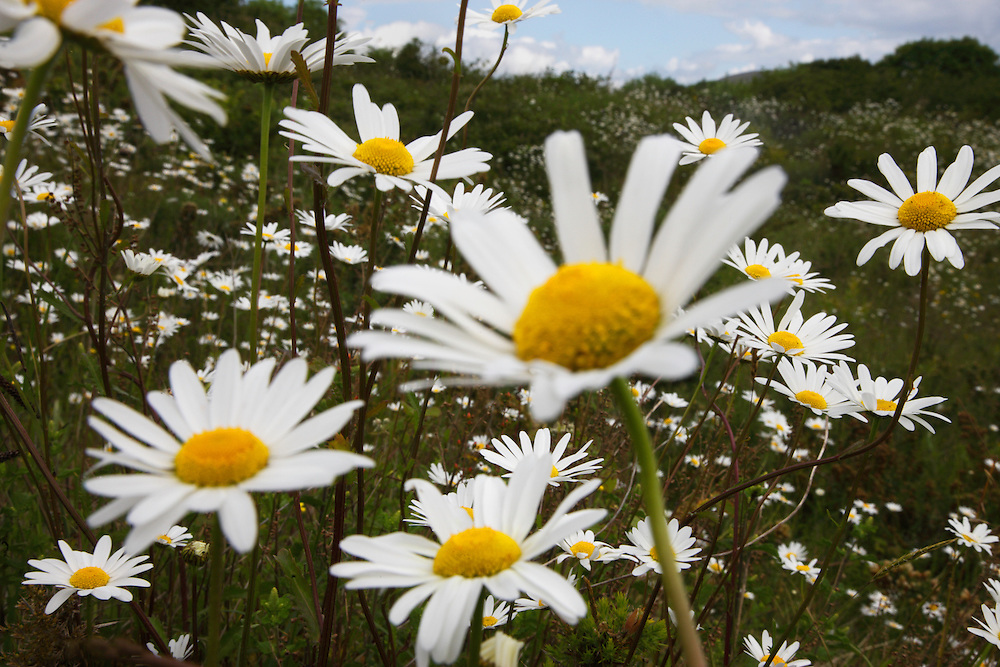 Ox-eye daisies ( Chrysanthemum leucanthemum ) Ireland Burren national park