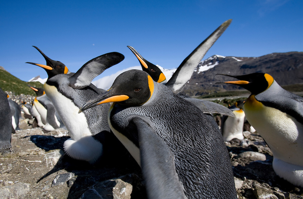 Antarctica, South Georgia Island (UK), King Penguins (Aptenodytes patagonicus) fighting over nesting space in crowded rookery along Right Whale Bay