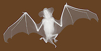 X-ray image of a little brown bat (black on white) by Jim Wehtje, specialist in x-ray art and design images.