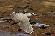 Adult Black-crowned Night-heron (Nycticorax falklandicus)