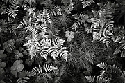 A Black and White of the detail of ferns in Denali Park, Alaska