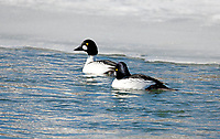 Two male Common Goldeneye ducks swims in open water on a frozen pond.