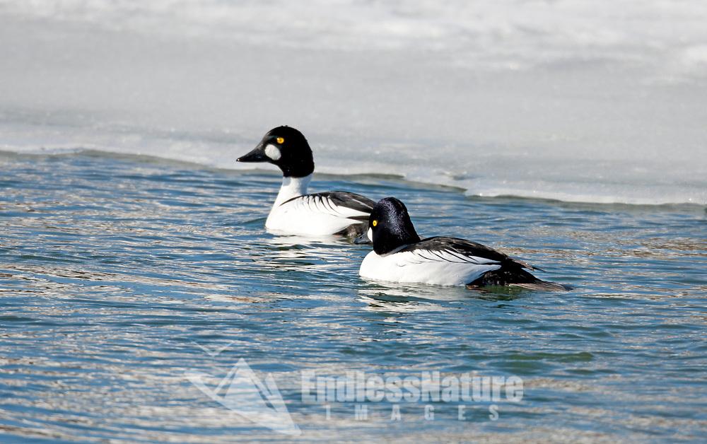 Two male Common Goldeneye ducks swims in open water on a frozen pond.