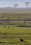 Lioness stalking zebra at waterhole, Ngorongoro Crater Tanzania.