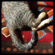 Roslyn Heights, NY: August 14, 2014--- A kitten curls up on in sunspot on a multicolored geometric carpet. © Audrey C. Tiernan