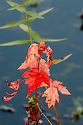 Red Maple leaves near the Ipswich River, North Reading, MA