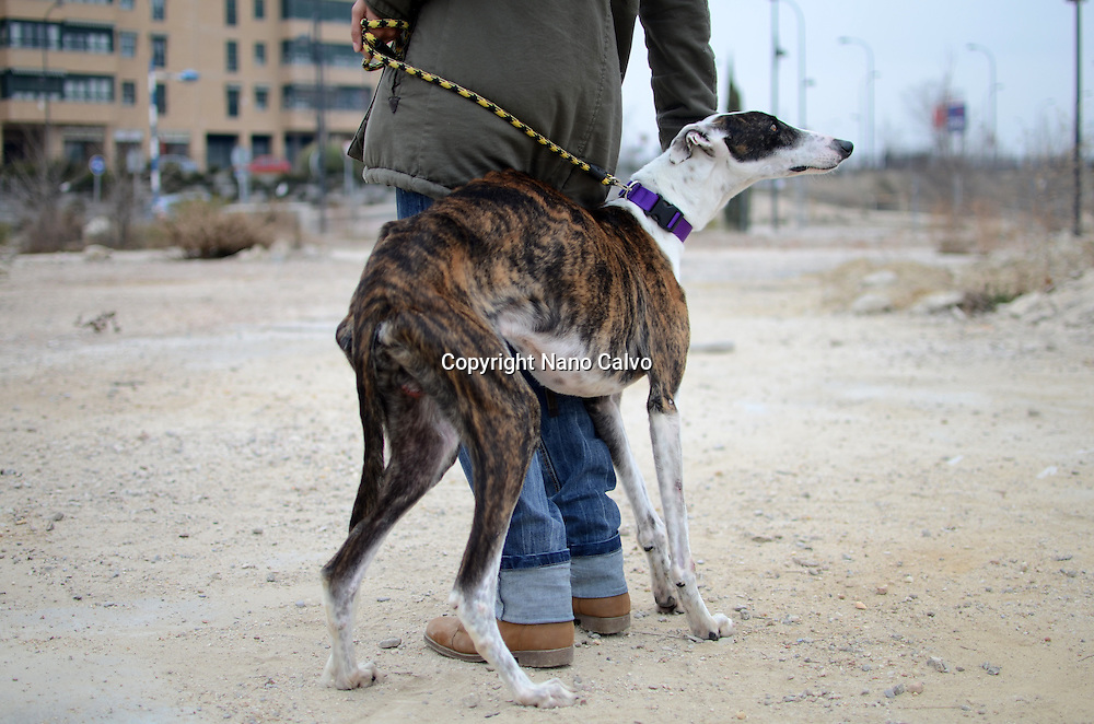 """Gitano"", a Spanish greyhound that was rescued from an industrial area of Madrid, one month ago. Wounded and too thin, he is now having a second chance to live a normal life. 50,000 greyhounds are brutally killed in Spain, every year, at the end of the hunting season. Fortunately, Gitano managed to escape from that shameful luck. His shy manners hide a prolonged exposition to fear, and his eyes tell us an episode of a story that needs to end."