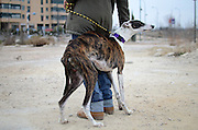 """""""Gitano"""", a Spanish greyhound that was rescued from an industrial area of Madrid, one month ago. Wounded and too thin, he is now having a second chance to live a normal life. 50,000 greyhounds are brutally killed in Spain, every year, at the end of the hunting season. Fortunately, Gitano managed to escape from that shameful luck. His shy manners hide a prolonged exposition to fear, and his eyes tell us an episode of a story that needs to end."""