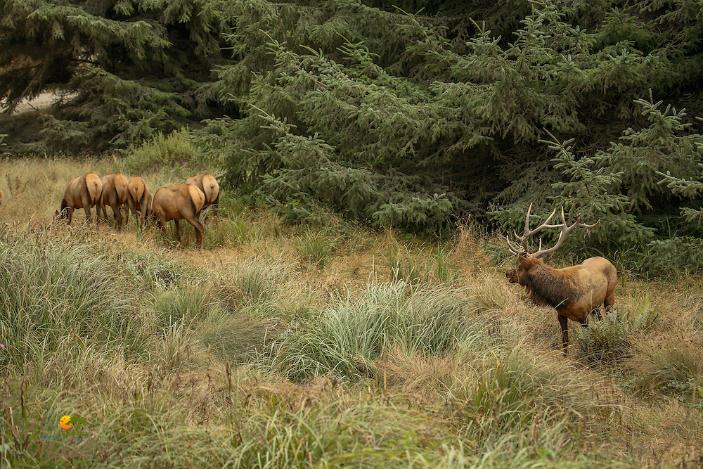 Bull elk and cow harem