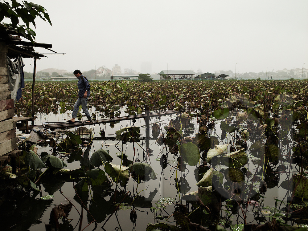 A vietnamese man walks on a bamboo peer leading to a lotus flower field in west lake.  Hanoi, Vietnam, Asia