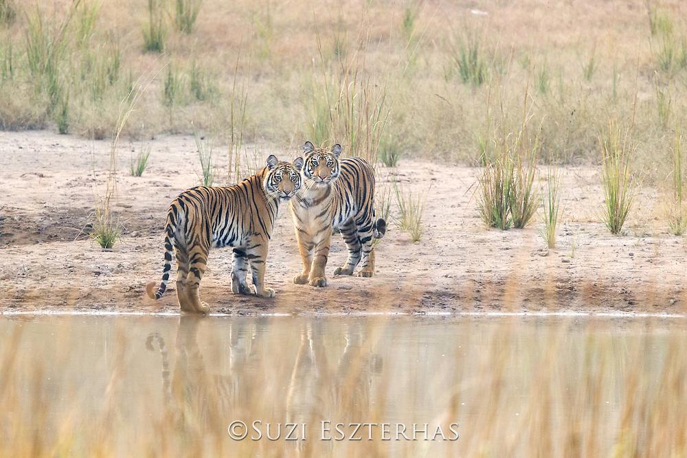 Bengal Tiger<br /> Panthera tigris <br /> 1.5 year old cubs playing<br /> Bandhavgarh National Park, India