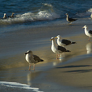 Seagulls hunting on the beach. Malibu,CA.USA.