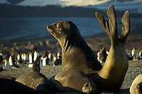 Southern Elephant Seal (Mirounga leonina)<br />