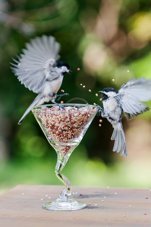 Two Black-capped Chickadees bicker over glass of bird seed.