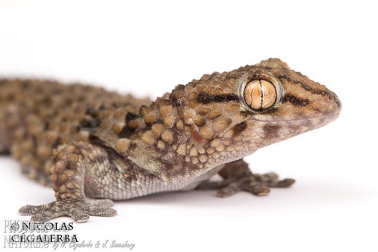 Pachydactylus bibronii