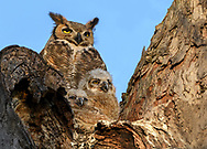 Family portrait of Great Horned Owls