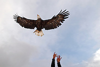 Bryan Bedrosian releases one of several eagles he's equipped with tracking devices back into the wild on the National Elk Refuge. Bedrosian said some of the eagles in the study have been tracked as far away as Montana and Utah.