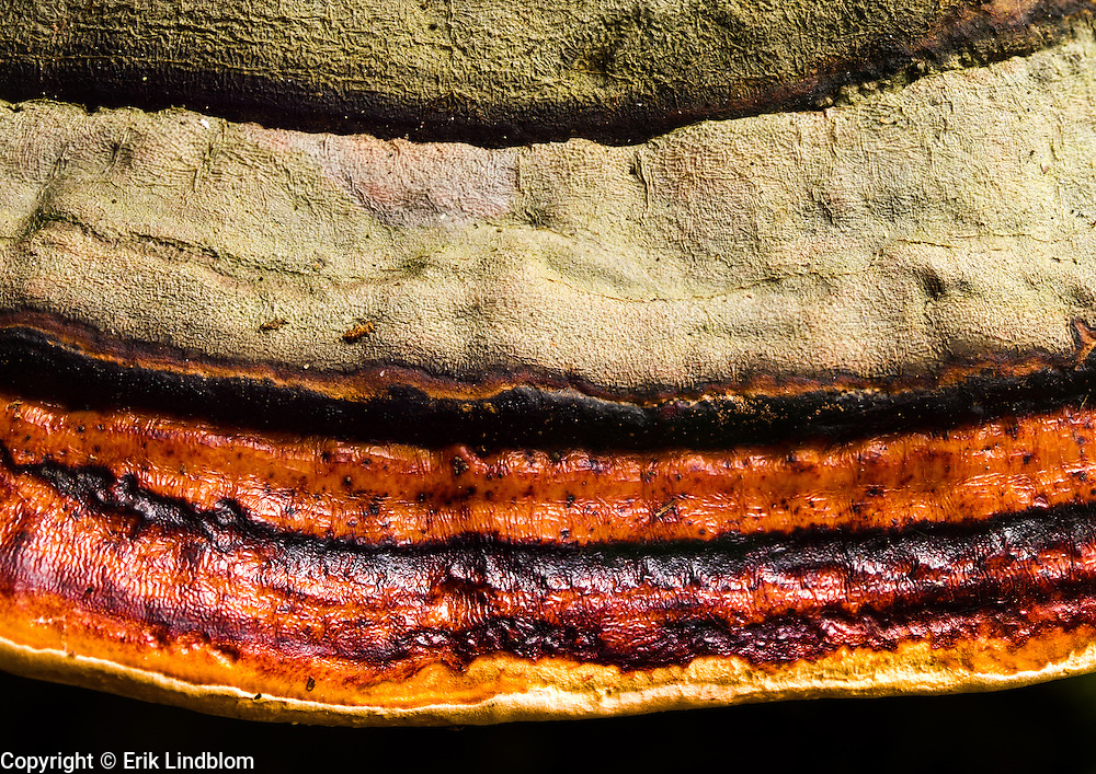 Close-up on a red banded polypore (Fomitopsis pinicola).