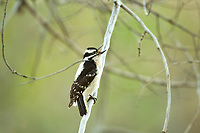 A Female Downy Woodpecker perched on a branch under the canopy of a cottonwood tree.
