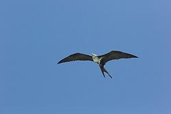 A juvenile Lesser Frigatebird (Fregata ariel) at Adele Island off the Kimberley coast.