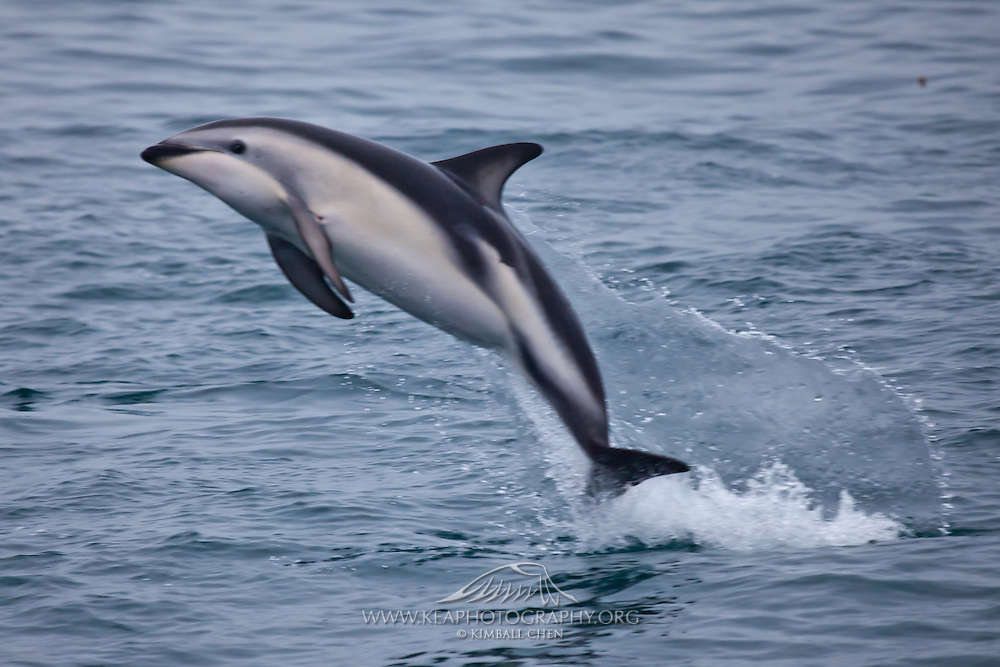 Dusky Dolphin leaping out of the water, New Zealand