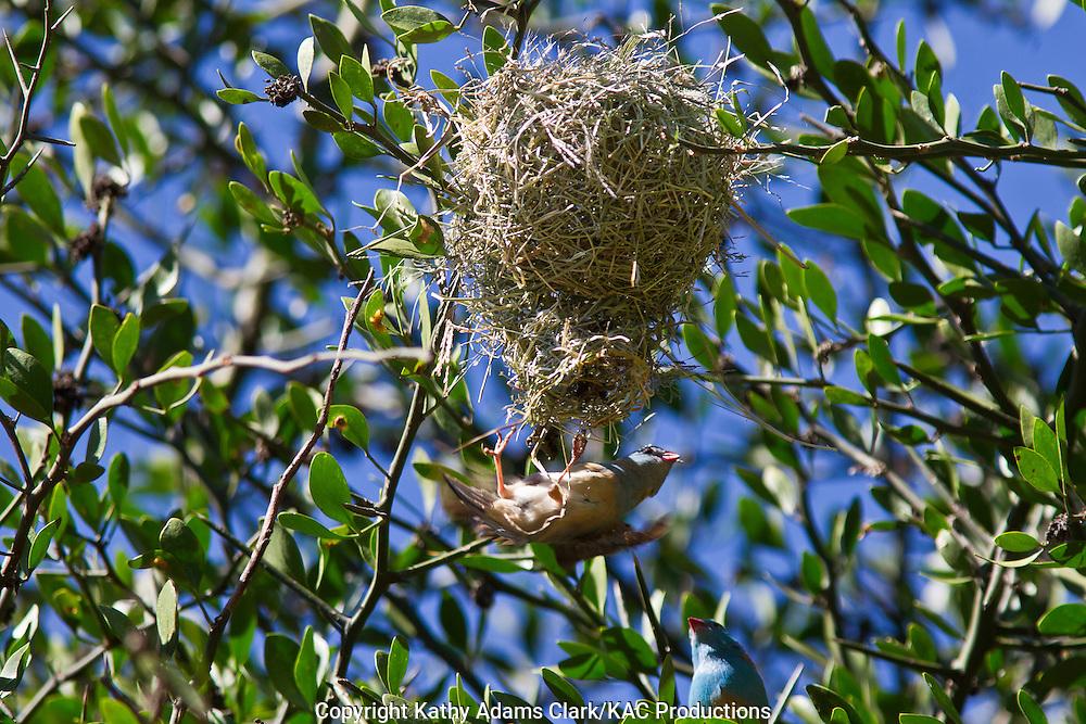 Blue-capped cordon-bleu, Uraeginthus cyanocephalus, building a nest, pendulent nest, woven nest, Serengeti National Park, Tanzania, Africa.