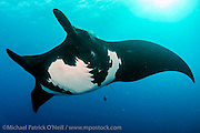 """A Giant Pacific Manta Ray, Manta birostris, swims at """"The Boiler"""", a seamount in the remote Revillagigedo Archipelago, roughly 220 miles south / southwest of Cabo San Lucas, Mexico."""