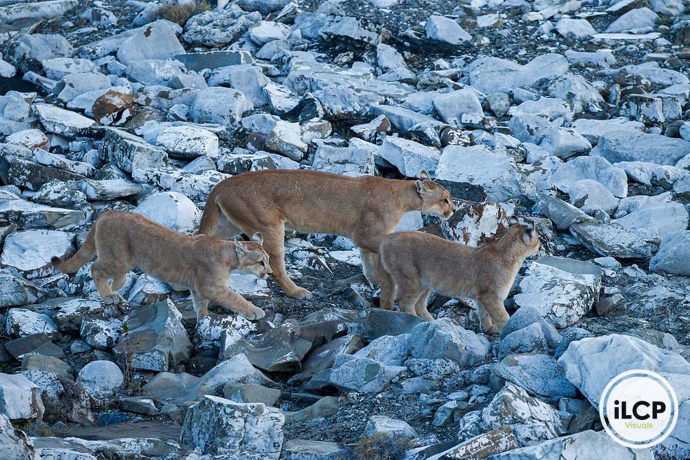 Mountain Lion (Puma concolor) mother and six month old cubs, Torres del Paine National Park, Patagonia, Chile