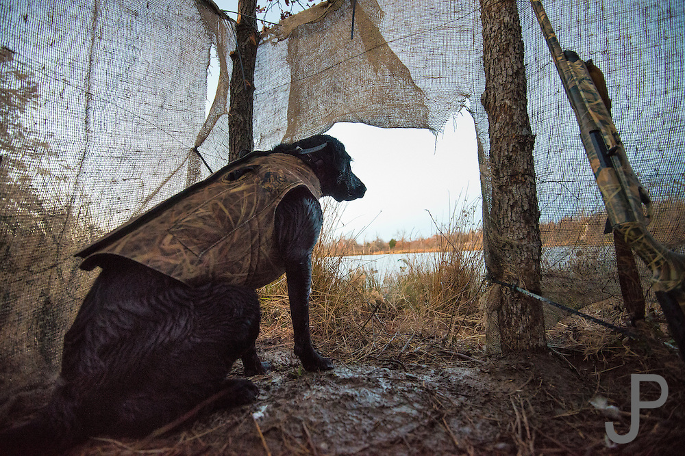 2.5 year old female black lab watches for ducks to fall at a private watershed lake in Shamrock, Oklahoma