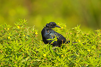 Boat-tailed Grackle (Quiscalus major), Arthur R Marshall National Wildlife Reserve - Loxahatchee, Florida, USA.    Photo: Peter Llewellyn