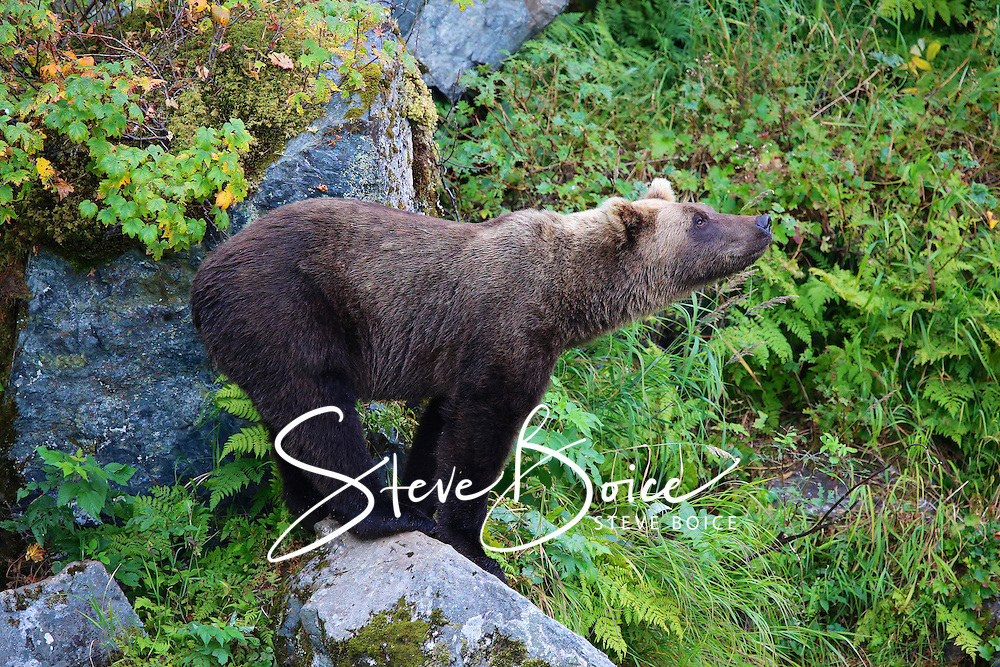 Grizzly bear standing on a rock at Wolverine Creek, Alaska