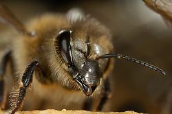 Honey bee (Apis mellifera), Kiel, Germany | Eine Wächterin der Honigbiene (Apis mellifera) am Eingang des Flugloches  Kiel, Deutschland