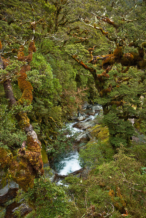 Beech branches, thick with moss and epiphytic growth, overgrowing the waterfalls of Roaring Burn, Milford Track, New Zealand